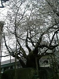 Ishiwarisakura
